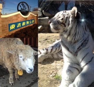 【季節の一枚】東武動物公園の羊とホワイトタイガー
