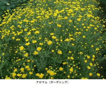 中部電力は広島大学と共同で甘い香りのする新品種のキク「アロマム」を開発